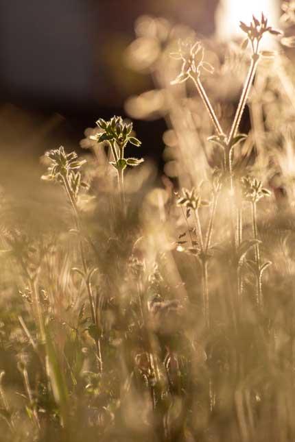 コハコベ小繁縷