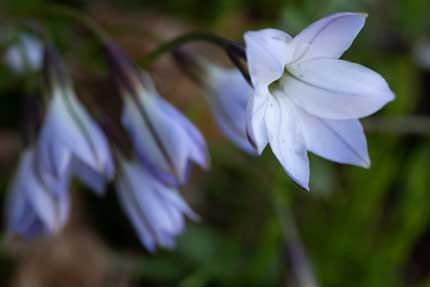 ハナニラ花韮