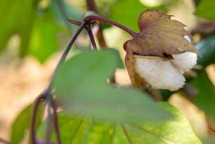 綿ワタcotton