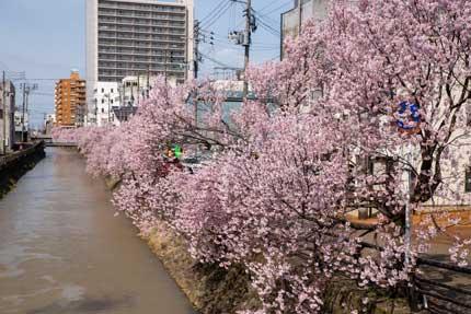 儀明川の小彼岸桜は満開