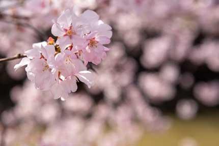艶やかな小彼岸桜