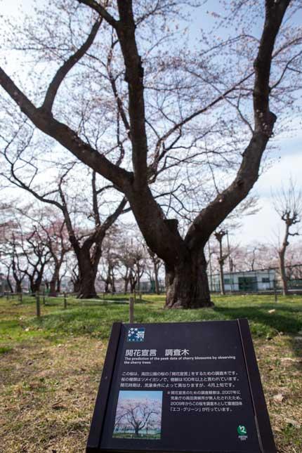 高田城址公園の桜の開花が宣言