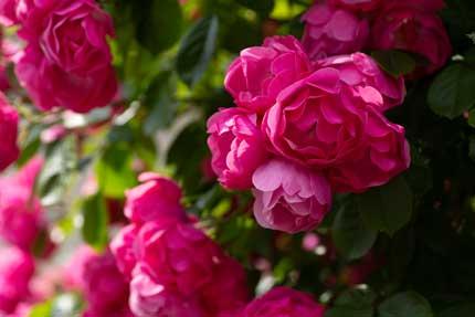 ラファミーユスユクルさんの薔薇1