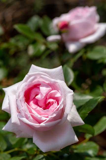 ラファミーユスユクルさんの薔薇2