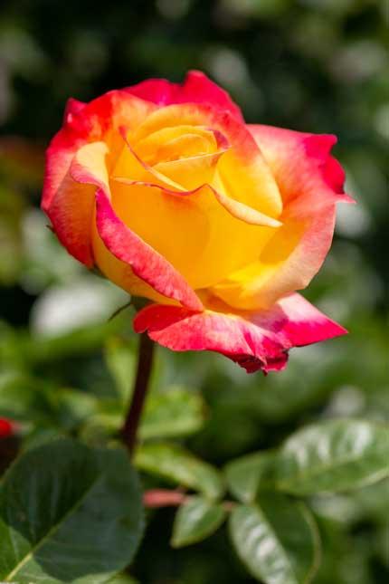 ラファミーユスユクルさんの薔薇5