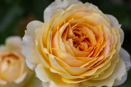 ラファミーユスユクルさんの薔薇6