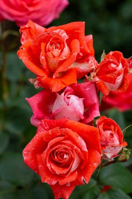 ラファミーユスユクルさんの薔薇7