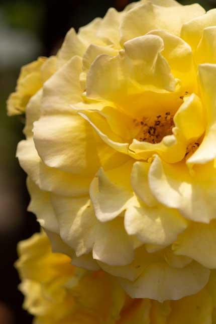 ラファミーユスユクルさんの薔薇8