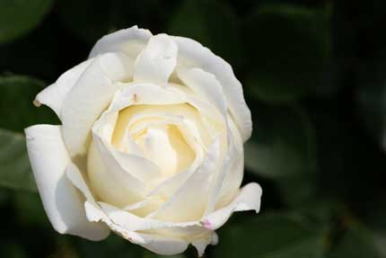 ラファミーユスユクルさんの薔薇9