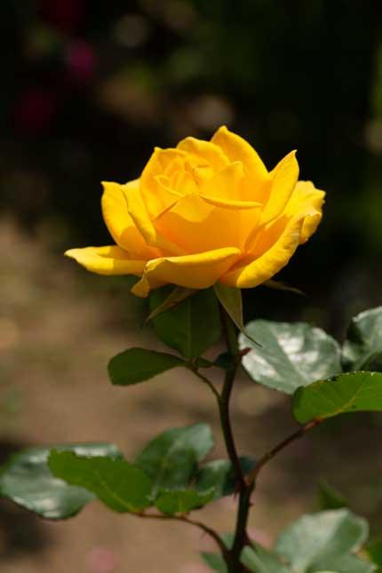 ラファミーユスユクルさんの薔薇10