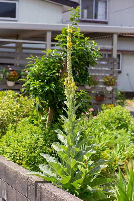 ビロードモウズイカ:天鵞絨毛蕊花