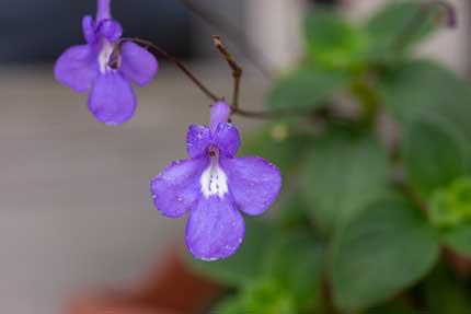 ストレプトカーパス・サクソルム:Streptocarpus saxorum