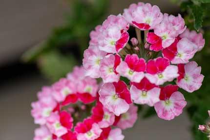 ビジョザクラ:美女桜