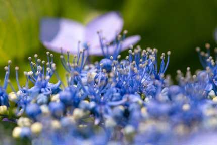 ガクアジサイ:額紫陽花