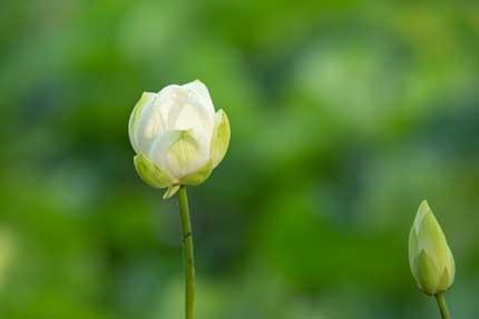 観蓮園にある蓮の花