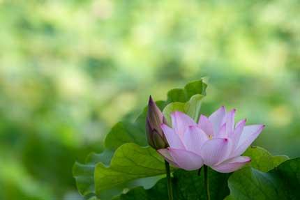 観蓮園にある蓮の花3