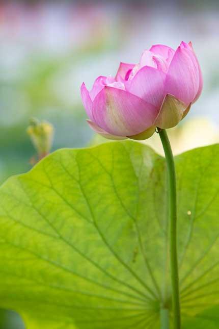 観蓮園にある蓮の花4