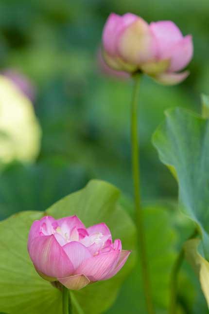 観蓮園にある蓮の花1