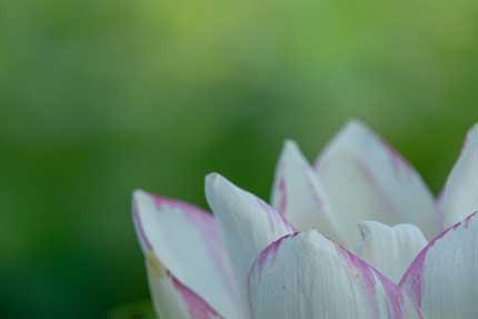 観蓮園にある蓮の花2