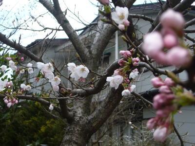 あい企画の桜20070408