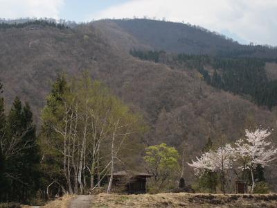 秋山郷の桜