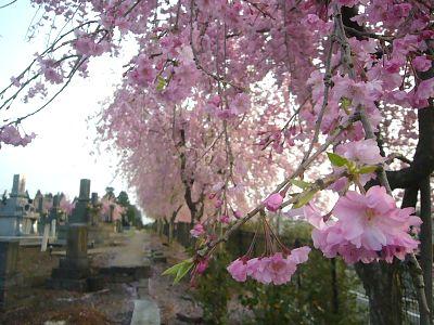 金谷山のベニシダレ桜