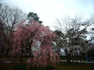 べに枝垂れ桜20070409