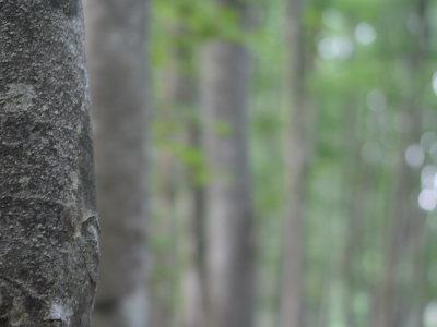 煌めくブナ林