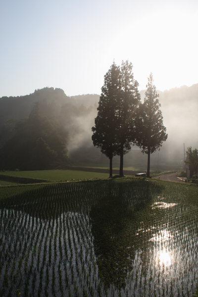 朝の光を浴びて三本杉