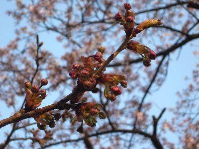 高田城址公園の八重桜(ぼたん桜)20070420