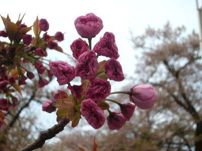 高田城址公園の八重桜(ぼたん桜)20070421