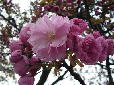 高田城址公園の八重桜(ぼたん桜)20070422
