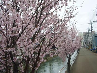 満開桜上越市儀明川20070402
