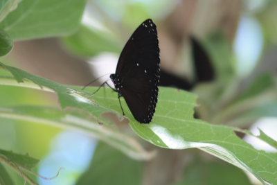 黒いチョウに出会いました。