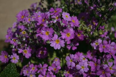 庭の花20070430