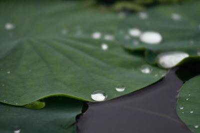 はすの葉についた水滴