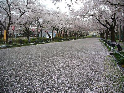 ピンクの桜絨毯