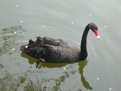 高田城址公園の黒鳥