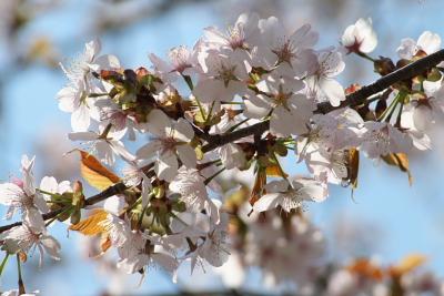 萌木の里の桜
