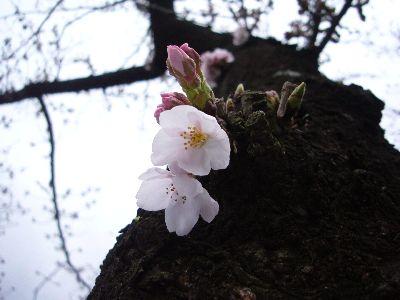 高田城址公園の桜サクラさくら20070402