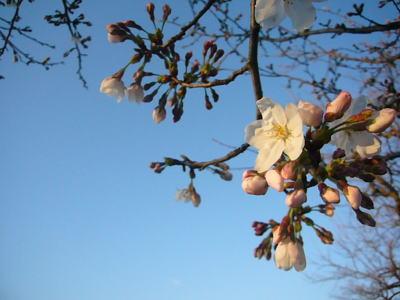 高田城址公園の桜サクラさくら20070404
