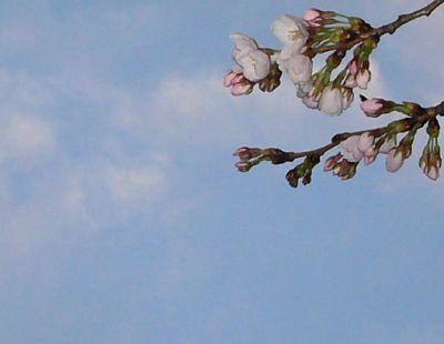 高田城址公園の桜サクラさくら20070406