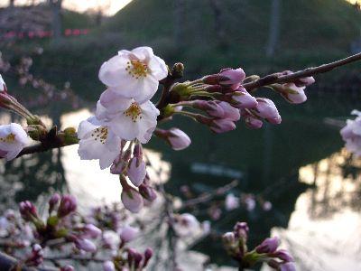 高田城址公園の桜サクラさくら2007040701