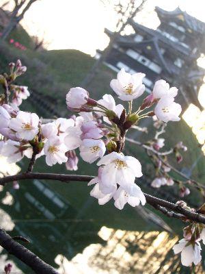 高田城址公園の桜サクラさくら2007040702