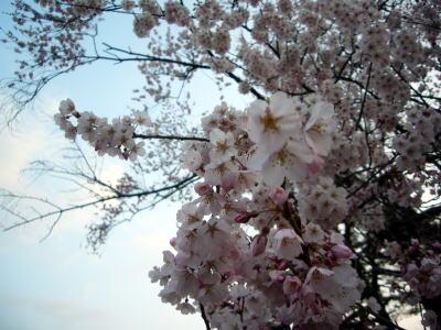高田城址公園の桜サクラさくら20070408