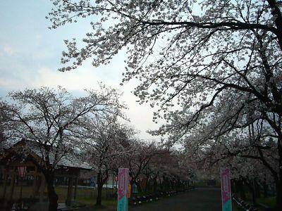 高田城址公園の桜サクラさくら20070409