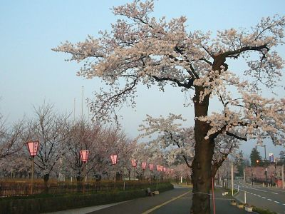 古い桜20070410