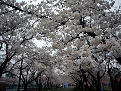 高田城址公園の桜サクラさくら20070411