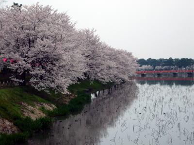 高田城址公園の桜サクラさくら200704131
