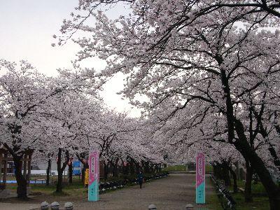 高田城址公園の桜サクラさくら200704132